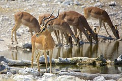 Male Impala (proefdier) Tags: africa afrika animal etosha impala namibia nationalpark wildlife antilope