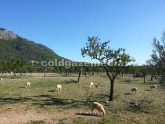 20151106_105252 (coldgazemedia) Tags: photobank stockphoto bluesky blue sheep animal outdoor mallocra majorca spain espaa spainishisland tree grass grazing balearicislands
