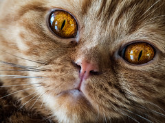 Project 366 - 234/366: Hypnotizing eyes (sdejongh) Tags: 234366 366 animal british cat closeup cute eyes feline fur hairs hypnotizing instadaily instagood instalike intense noose picoftheday project pupil red shade shorthair