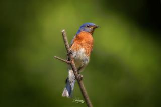 Eastern Bluebird - M