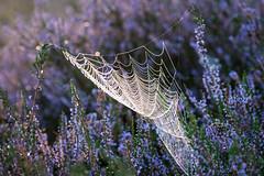 Spinnennetz in Heideblüte (webpinsel) Tags: blütezeit morgendämmerung morgenstimmung nebel landschaft halternamsee wolkenlos sythen naturschutzgebiet natur sommer westruperheide
