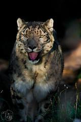 Tier_029.jpg (greiner_max) Tags: object america2016 hoglezoo animal america snowleopard places saltlakecity animals destinations genre objekt ortschaften tier tiere