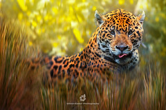 Jaguar (Panthera onca) (fesign) Tags: alertness animalbodypart animalhead biology catfamily day differentialfocus grass horizontal jaguar lookingatcamera nature nopeople oneanimal outdoors portrait staring wildlife zoology