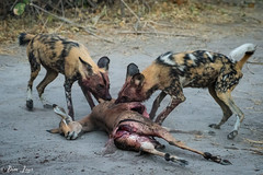 DT-150 (Photography by Brian Lauer) Tags: botswana africa safari safaris wildlife travel nikonphotography nikon lion elephant hippo fisheagle saddlebilledstork piedkingfisher lilacbreastedroller wilddog