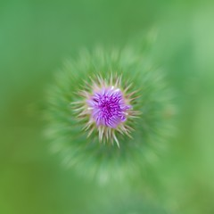 eye of the thistle (primemundo) Tags: lookingdown thistle purple