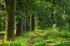 path in the forest (JoannaRB2009) Tags: path forest trees road oaks oak tree green nature woods miliczponds stawymilickie dolnylsk lowersilesia polska poland summer rural countryside dolinabaryczy