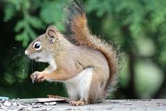 American Red Squirrel (Tamiasciurus hudsonicus) (Gerald (Wayne) Prout) Tags: americanredsquirrel tamiasciurushudsonicus animalia chordata mammalia rodentia sciuridae tamiasciurus mybackyard cityoftimmins ontario northernontario timmins ontarione prout geraldwayneprout canon canoneos60d american red squirrels