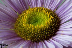 Purple heart , #wanderlust , #pollen , #environment , #perspective , #yellow , #Exposure , #bloom , #contrast , #Photography , #Nature , #outdoor , #garden , #color , #Light , #composition , #interesting , #Photographer , #flora , #Macro , #closeup , #upc (jwzw@ymail.com) Tags: purple heart wanderlust pollen environment perspective yellow exposure bloom contrast photography nature outdoor garden color light composition interesting photographer flora macro closeup upclose perennial flower delicate stamen beautiful bokeh petals photoart summer