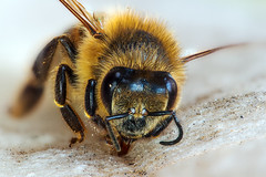 Abeille (hyponeros) Tags: macro focus stacking helicon