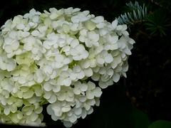 Rispenhortensie (dorisgoebel) Tags: rispe rispenhortensie blume flower natur weis blte blossom