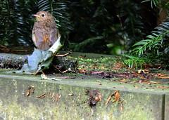 European Robin, Erithacus rubecula (asterisktom) Tags: 2016 trip2016kazakheuro july germany karlsruhe europeanrobin robin erithacusrubecula bird vogel ave 鸟 niao птица 鳥