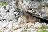 Alpine marmot! (Lorenzo Giardi) Tags: 2016 dolomiti marmot marmotta montagna valparola marmots marmotte mountains dolomites alpine alps alpi animal