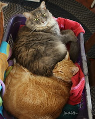 """""""Why don't you just skip this load?"""" (judecat (back with the pride)) Tags: cats laundry redtabby longhairedtortiseshell felines dora simon"""