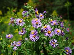 Asters (pilechko) Tags: bowmanshill newhope buckscounty pennsylvania nature flowers color bokeh