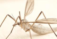Crane Fly (phil_1_9_7_9) Tags: crane fly daddy long legs alien creepy bug macro close weird nikon d7000 sigma tipulidae insect autumn