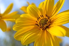 Yellow like a sun (C-Smooth) Tags: yellow sun wildflowers nature jerusalemartichoke flora sunlight fiori