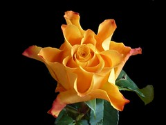 HAPPY WEEKEND FLOWER (Cathpetsch) Tags: orange flower macro rose closeup roos soe bouquets oranje onblack happyweekend zevenbergen thegalaxy artonflickr andromeda50 panasonicdmctz6 mygearandme rememberthatmomentlevel4 rememberthatmomentlevel1 rememberthatmomentlevel2 rememberthatmomentlevel3 rememberthatmomentlevel7 rememberthatmomentlevel9 rememberthatmomentlevel5 rememberthatmomentlevel6 rememberthatmomentlevel8 flowerthequietbeauty rememberthatmomentlevel10 vigilantphotographersunite vpu2 vpu3 vpu4 vpu5 vpu6 vpu7 vpu8 vpu9
