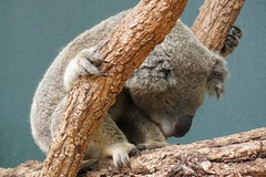 Wildlife Sydney Zoo -#6 (Christopher Yardin) Tags: zoo sydney koala marsupial australianwildlife