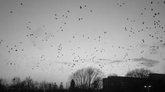 Die Vgel (gepixelt) Tags: sky blackandwhite bw birds sony himmel wolken cybershot sw vgel duisburg schwarzweis rx100 dscrx100 sonyrx100 sonydscrx100