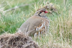 Red-Legged Partridge (Teapot Taylor) Tags: partridge redlegged