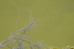 """Nature has no principles. She makes no distinction between good and evil."" Anatole France (Fred Zanagold) Tags: newzealand white plant green canon eos branch rotorua waiotapu devilsbath hotpool 1100d canoneos1100d devilbath"