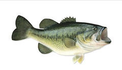 Largemouth Bass by wormbumper, on Flickr