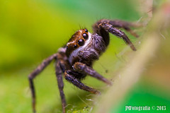 Jumping Spider (joaomartins_77) Tags: macro canon lens 50mm spider reverse ml 19 yashica 560 aneis 450d youngnuo