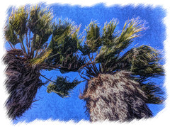 Blustery_2_20_13 (Mandolina Moon) Tags: palms windy fronds painteresque simplyhdr mandolinamoon
