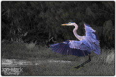Landing The Great Blue (QuakerVille) Tags: heron florida greatblueheron wma refuge wildliferefuge loxahatchee wildlifepreserve environmentalissues supershot wildlifemanagement specanimal avianexcellence jonmarkdavey 10216leeroadboyntonbeach