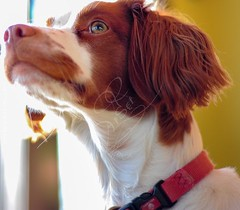 king Cavalier (AtSetProductions) Tags: nose eyes soft ears strong spaniel companion professionalphotographer loyal k9 gentil obedient petphotography amazingdog dogpuppy bravedog caviel petphotographer