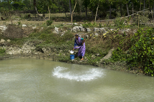 Feeding fish in an aquaculture pond in Hazipur, Bangladesh. Photo by Finn Thilsted, 2012.