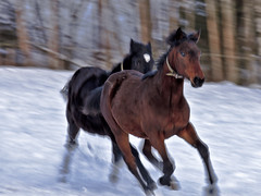 "Fast running (Vidar ""the Viking"" Ringstad, Norway) Tags: winter horses horse brown white snow playing black cold norway canon eos norge frozen vinter europa frost norwegen running explore 7d slowshutter lotto scandinavia kebab toro brun lasagne hester hest sn findus horsepower v6 plse lowshutter svart leker frosen kaldt hvit jamat verdal knoker kald explored lper frossen lukketid travbane hemnes neimat plegg langlukker hestekjtt millionr ydersbotn naturesharmony hestekraft rememberthatmomentlevel1 rememberthatmomentlevel2 havns ikeakjttboller mukmat suppekjtt svartplse hesteplse lottomillionr hesteviskeren hestepest"