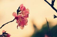 Cherry Blossoms.. ( Nana) Tags: light nature cherry spring colorful bokeh blossoms taiwan sakura cherryblossoms   beautifulflower taiwan
