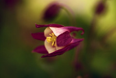Columbine (j man ) Tags: life lighting flowers friends light flower color macro art texture nature floral colors beautiful closeup composition lens photography illinois cool flickr dof blossom bokeh pov maroon background sony details perspective favorites blurred 11 depthoffield pointofview sp ii views di if columbine f2 tamron comments ld jman a300 af60mm mygearandme flickrbronzetrophygroup
