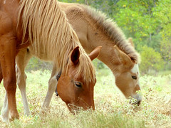 La hora de la merienda (.Bambo.) Tags: summer horse caballos pasture verano animales teruel animalia equus potro foal aragn equidae pastar linaresdemora equusferuscaballus