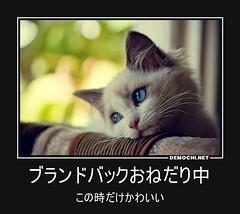 ブランドバックおねだり中 この時だけかわいい #猫 #子猫 (Demochi.Net) Tags: life cute sexy japan fun japanese motivator culture 日本 ペット 猫 demotivator 金 家族 結婚 ゲイ 女 子供 おっぱい 愛犬 政治 社会 巨乳 文化 眼鏡 教育 demotivators 経済 女性 初恋 r18 女子 カップル 子猫 女装 お笑い motivators 会社 少子化 企業 ユーモア 恋 悪い 格差 風刺 一言 デモチ 大喜利