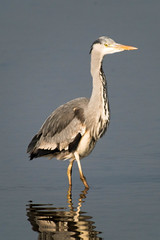 untitled-1689.jpg (Tim Geary) Tags: bird heron nikon lough birding d800 larne islandmagee digiscope ballycarry