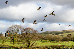 Red Kite (Milvus milvus) (BiteYourBum.Com -) Tags: park blue red kite station wales carmarthenshire feeding unitedkingdom 350 national pro brecon beacons runner canonef1740mmf4lusm aw redkite lowepro milvusmilvus llanddeusant dyfed canonefs60mmf28macrousm breconbeaconsnationalpark biteyourbum redkitefeedingstation canoneos7d dawnandjim canonspeedlite430exii sigma50500mmf4563dgoshsm biteyourbumcom welshredkitetrust llanddeusantredkitefeedingstation