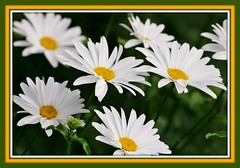 Happy International Women's Day (bigbrowneyez) Tags: flowers beautiful dedication daisies petals dof natural bokeh gorgeous natura fresh frame wishes tribute lovely fiori delicate joyful mygarden pure uplifting shastadaisies bellissimi flickrwhite supershot miogiardino hennysgarden vigilantphotographersunite happyinternationalwomensdaymar8th