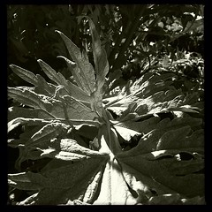"""A #sunny #moment in my #spring #garden #ornamental artichoke leaves • <a style=""""font-size:0.8em;"""" href=""""https://www.flickr.com/photos/61640076@N04/8540619168/"""" target=""""_blank"""">View on Flickr</a>"""