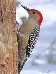 Red-bellied Woodpecker (JacquiTnature) Tags: woodpeckers jacquit nature aves bird wildlife redbelliedwoodpecker wv melanerpescarolinus snow winter