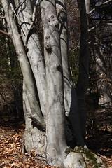 foyard (bulbocode909) Tags: arbres mfcc foyards