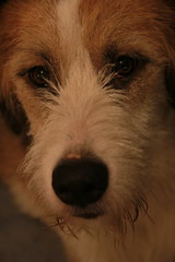 Dog Close-up - Pic Of The Day 15.3.13 (Jordan Ballantine) Tags: dog beagle face closeup sheepdog antiphotoshop beardeddog beaglesheepdogcross