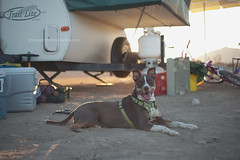 Happy Dog (snippets_from_suburbia) Tags: california camping dog desert saltonsea icechest