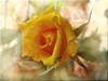 Jun09 (musymas) Tags: textura flor rosa challenge tatot musymas bestevercompetitiongroup