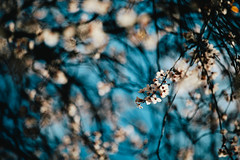 Blossom Time. (Crusade.) Tags: uk england plant flower london canon cherry spring blossom bokeh 70200 70200l 5d2