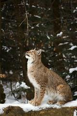 Lynx (Cloudtail the Snow Leopard) Tags: wildpark pforzheim tier animal säugetier mammal luchs lynx nordluchs eurasischer cat katze winter schnee snow cloudtailthesnowleopard
