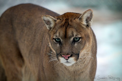 Nice kitty... (Dave the Haligonian) Tags: park winter snow canada green cat canon eyes novascotia wildlife shed whiskers 7d cougar shubenacadie mountainlion wildlifepark ef70200mmf28l nicekitty copyrightallrightsreserved davidsaunders davethehaligoniandsaunders03 img5873cr2