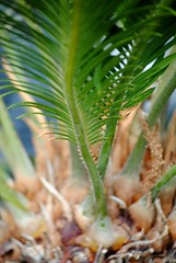 Sago Palm (Schuyler H. Miller) Tags: plants green nature palm sagopalm