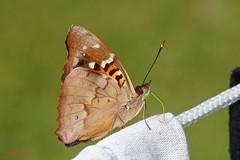 Pavon Emperor - Doxocopa pavon ( BlezSP) Tags: peru butterfly rainforest butterflies reserve tropical tambopata puertomaldonado nymphalidae madrededios neotropical malinowski faunaforever